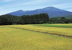 ササニシキ刈り取り前風景